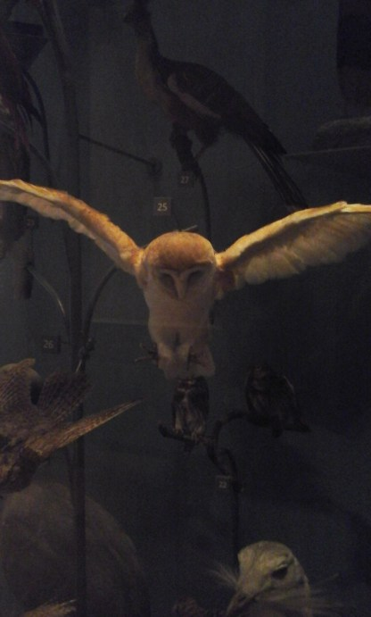 I never realised Barn Owls were so small
