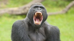 Deadly parasite 'jumped' from gorilla to humans 1 - The Mandatory Training Group UK -
