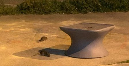 Rats seen scuttling around mental health ward garden - The Mandatory Training UK -