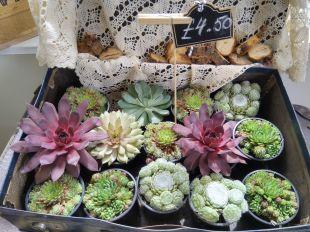 Amazing display of succulent plants