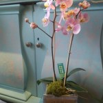 Mother's Day Orchid Plant