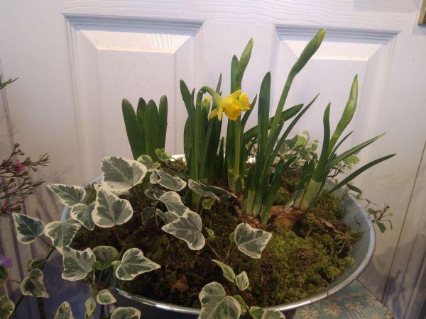 Hyacinths, Daffodils, Campanula Varieties