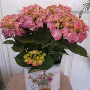 Hydrangea plant in vintage tin