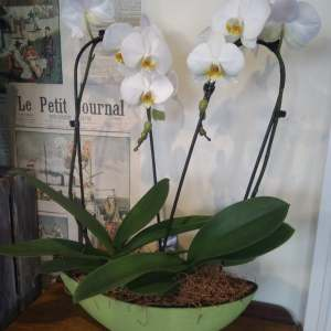 A Luxury Phalaenopsis Planted Arrangement.