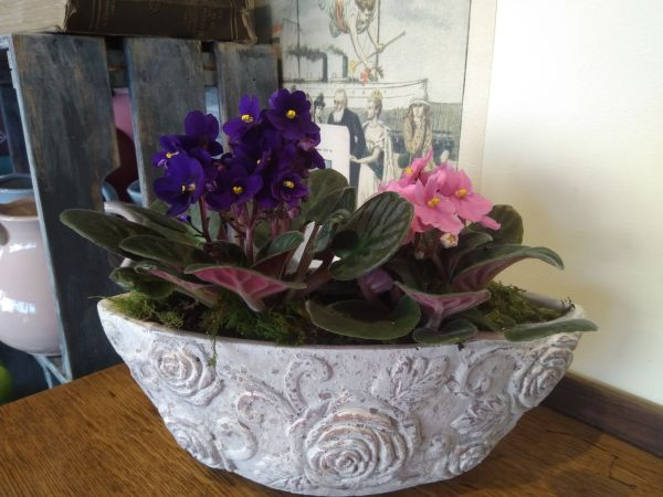 Rustic antique clay pot with African violets (Saintpaulia )