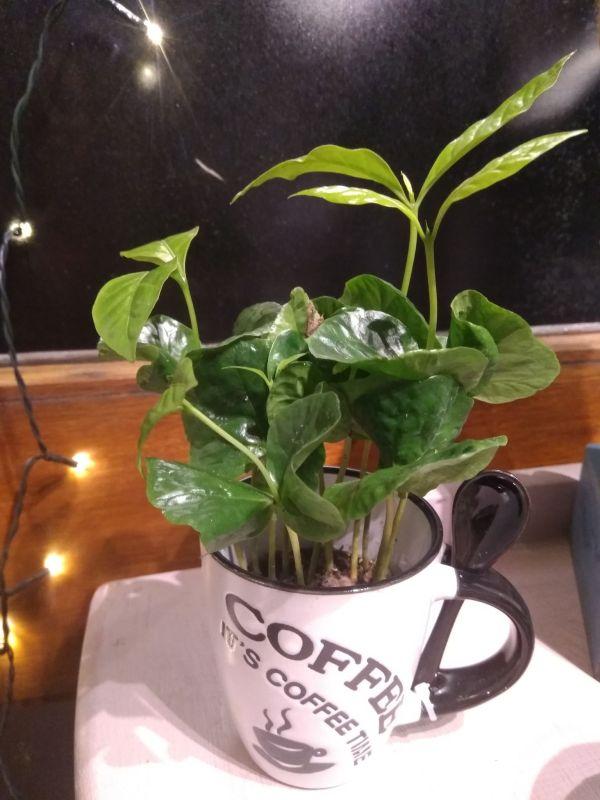 coffee plant & mug