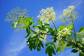 black-elderberry-474752__180