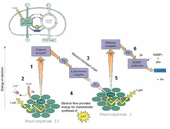 What happens during Photosystem II proquestyamahaweb