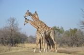 Giraffes / Girafes