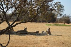Lion Park - Juillet 2015