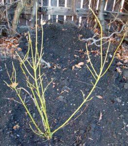 Cornus sericea White Gold