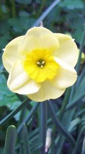 Daffodil Sundisc