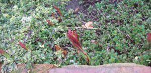 Euphorbia griffithii Fireglow growing through golden marjoram and Arabis ferdinandi-coburgii Old Gold