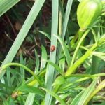 Red lily beetles