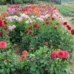 Woolmans rain-resistant dahlia trials