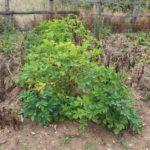 Blight-busting Sarpo seed potatoes