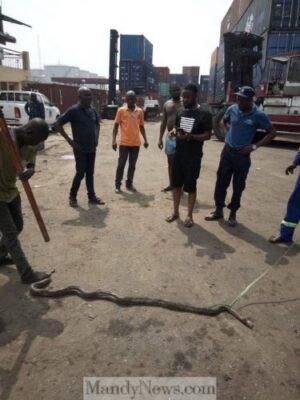 8760184 bado3 jpeg050c6cc6beae55a764a7d11bd740a2ae - Big Snake Terrorizing Kirikiri Residents At Night In Lagos Finally Killed (Photos)