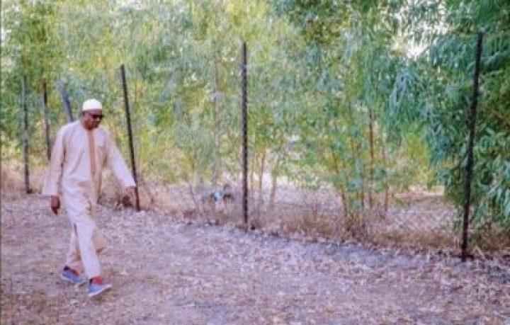 8855022_b8194be08e4a4a1eaec473084676b095_jpeg_jpeg34f390ecc48b69015aae5882e4033894 President Buhari Spotted At His Farm In His Hometown Daura, Katsina (Photos)