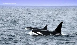També es poden avistar orques...
