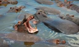 tanzania serengeti hipopotams