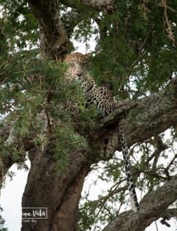 tanzania serengeti lleopard