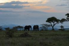 Elefanten Serengeti-feb 2017-10-2