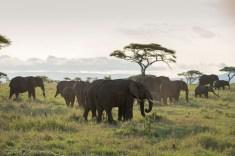 Elefanten Serengeti-feb 2017-7-2