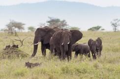 Elefanten u Warzenschwein Serengeti-2017-1-2