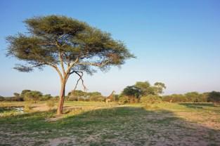 Giraffen Tarangire 2017-1-2