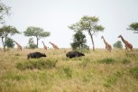 Giraffen u Büffel Serengeti 2017-1-2