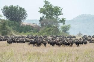 gnus u zebras serengeti migration 2017-4-2