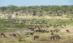 gnus u zebras serengeti Ndutu migration 2017-11-2