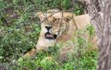 Löwin Serengeti feb 2017-3-2