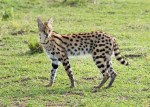 Serval Serengeti-2017-1-2