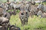 zebras u Gnus Serengeti feb 17-1-2