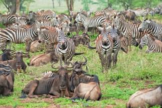 zebras u Gnus Serengeti feb 17-3-2