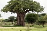 Baobab Baum und Zebras u Warzenschweine Tarangire-2017-1-2
