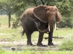 Elefant Tarangirei 2017-4-2