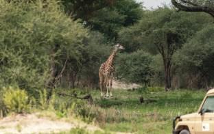 Giraffe Tarangire-2017-1-2