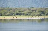 Giraffen Lake Manjara-2017-1-2