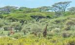 Giraffen Ndutu-Ngorongoro-2017-1-2