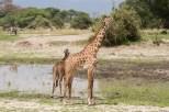 Giraffen Tarangire 2017-2-2
