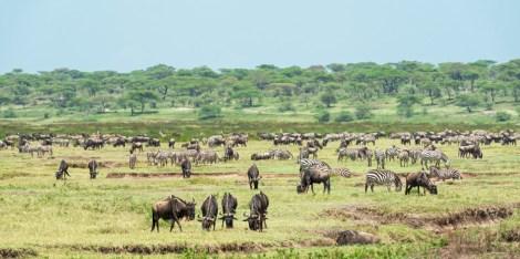 Gnus u Zebras Migration Ndutu-2