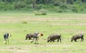 kronenkraniche und Warzenschweine Lake Manjara 2017-2-2