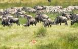 Löwe Gnus und zebras Ndutu-Ngorongoro 2017-1-2