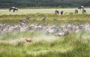 Löwe Gnus und zebras Ndutu-Ngorongoro 2017-2-2