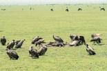 Sperbergeier-Ngorongoro-2017-7-2