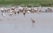Storch und Flamingos Lake Manjara 2017-1-2