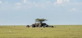 Thomson gazellen Ngorongoro-Serengeti 2017-1-2