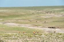 Thomson gazellen u Zebras Ngorongoro 2017-1-2